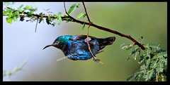 sunbird ! (TARIQ HAMEED SULEMANI) Tags: travel summer tourism nature colors trekking canon sensational tariq supershot the4elements theunforgettablepictures concordians sulemani theperfectphotographer tariqhameedsulemani jahanian