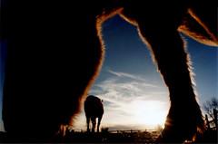 horses 1 (jrivard07) Tags: sunset horses horse usa newmexico santafe silhouette horizontal cosmo ophelia southwesternusa