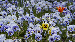 Blue, yellow and a tulip (Mona_Oslo) Tags: flowers blue red yellow pansy tulip mej monajohansson