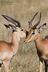 Impalas (georgetravels) Tags: africa two animal animals southafrica whispering horns safari antelope impala krugernationalpark kruger antelopes skukuza impalas wildlifephotography