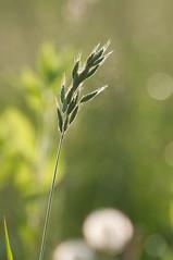 Gegenlicht (sduesterhus) Tags: nature grass backlight nikon outdoor natur meadow wiese gras gegenlicht karben d5000