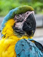 Parrot portrait | Madeira (Fabio Corleone) Tags: portrait portugal animal retrato parrot madeira loro