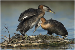 """Changing of the guard (Earl Reinink) Tags: ontario canada art nature photography nikon flickr photographer nest image images earl flikr grebe d4 art"""" """"nikon photography"""" images"""" """"nature lens"""" ontario"""" canada"""" ontbirds """"fine """"earl photographer"""" lenses"""" grebe"""" reinink """"nesting reinink"""" d4"""" """"rednecked niagara"""" 201306191163"""