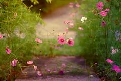 (Noelle Buske) Tags: pink flowers light dog flores green garden outdoors nikon focus purple flor sidewalk nikond40