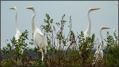 Can't Quite Agree (MurrayH77) Tags: bird nature inn kayak wildlife nj inlet egret corsons deuville