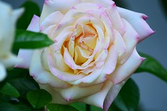 Love left Unspoken (Zoom Lens) Tags: life flowers roses flower color floral beauty rose sadness nikon blossom joy blossoms romance celebrations bloom buds bud blooms thorns condolences fragrance aroma johnrussellakazoomlens copyrightbyjohnrussellallrightsreserved roses2013