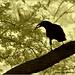 Bird Silhouette - IR