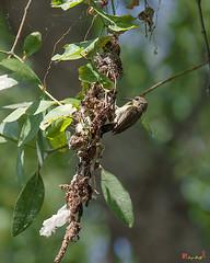 Olive-backed Sunbird Female at Entrance to Nest (Cinnyris jugularis) (DTHN0036) นกกินปลีอกเหลือง หญิงที่ทางเข้ารัง (Gerry Gantt Photography) Tags: bird nature thailand bangkok sunbird กรุงเทพฯ olivebackedsunbird cinnyrisjugularis ประเทศไทย yellowbelliedsunbird นกกินปลีอกเหลือง totallythailand thailandประเทศไทย bangkokกรุงเทพ prawetเขตประเว prawetเขตประเวศ