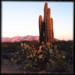 (K e v i n) Tags: arizona cactus southwest cacti desert az dirtroad pricklypear barbedwirefence sonorandesert saguaros marana santacatalinamountains southernarizona hipstamatic loftuslens dylanfilm oggl