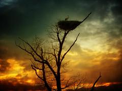 IMG_2897 Lonesome (pinktigger) Tags: sunset sky italy tree bird nature clouds italia nest shining stork cegonha cigea friuli borntobewild storch autofocus cigogne ooievaar fagagna cicogna alwaysontop oasideiquadris feagne slicesoftime panoramafotogrfico bestcapturesaoi elitegalleryaoi mygearandme mygearandmepremium mygearandmebronze mygearandmesilver mygearandmegold mygearandmeplatinum mygearandmediamond shiningexcellence flickrstruereflection1 flickrstruereflection2 flickrstruereflection3 flickrstruereflection4 flickrstruereflection5 flickrstruereflection6 flickrsfinestimages1 flickrsfinestimages2 magicmomentsinyourlifelevel1 magicmomemntsinyourlifelevel1