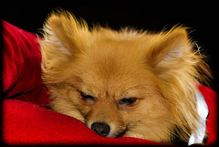 Sleepy Boo the Pomeranian. (CWhatPhotos) Tags: pictures camera light dog pet brown cute eye love canon puppy that lens photography eos pom eyes foto image affection artistic pics dwarf sleep sandy picture adorable canine down pic images have sleepy photographs photograph fotos tired bitch 7d pup dslr pomeranian which spitz contain shut portrat pompom colourfull lieing pomeranium portraited zwergspitz cwhatphotos dwarfspitz