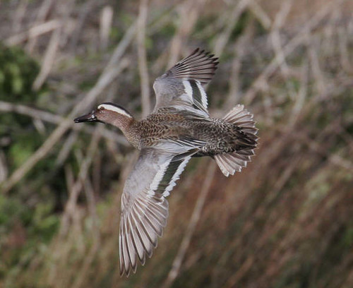 "Garganey (C.Selway) • <a style=""font-size:0.8em;"" href=""https://www.flickr.com/photos/30837261@N07/10722897575/"" target=""_blank"">View on Flickr</a>"