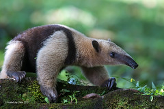 Anteater in Costa Rica (MyKeyC) Tags: costarica processed anteater