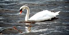 Haba una vez... (Mostly Tim) Tags: swan schwan cisne worldphotos mostlytim