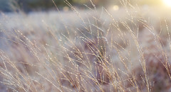 Day 326 (Ida H) Tags: sunset abstract grass project soft photoaday romantic 365 goldenhour richmondpark pictureaday longgrass project365