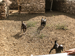 Goats at Desert (Synghan) Tags: boy india canon village desert indian goat powershot safari camel goats jaisalmer manju a630