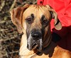 Roger (Chrissie28IWish! ~ hubby passed away 5th Dec peace) Tags: portrait dog pets black mouth puppy nose eyes great tan ears dane pup jowls creases