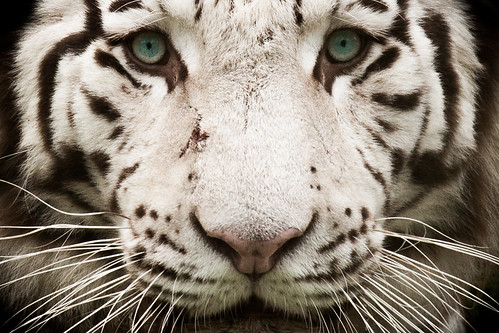 Tigre blanc royal (White Tiger)