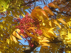 Leaves and Berries (shaire productions) Tags: park trees red orange tree nature leaves yellow outdoors photo colorful berries image branches seasonal photograph vegetation
