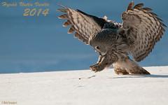 Hyvää Uutta Vuotta 2014 (mattisj) Tags: birds aves greatgreyowl eläimet strigiformes fåglar strixnebulosa linnut strigidae lapinpöllö pöllöt lappuggla pöllölinnut