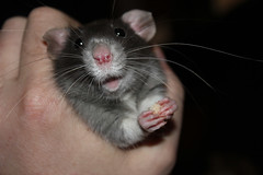 Rats Again! (jo-jeankeller) Tags: rodent rat whiskers paws louisvillemarch2013b