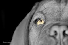 IRON ( Dogue de Bordeaux ) (rj@ubertsb) Tags: chien de nikon iron couleurs bordeaux explore dogue slective rjubertsb