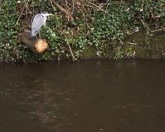 (Wendy:) Tags: heron river 350d january kitlens highwater dodder spate