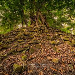 Nature will conquer , nature will prevail  Copan Ruins , Honduras (janusz l) Tags: trip nature ancient ruins rocks maya guatemala honduras mount mayan copan hdr conquer prevail janusz leszczynski