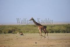10070816 (wolfgangkaehler) Tags: africa kenya african wildlife running giraffe amboseli kenyan eastafrica galloping eastafrican giraffacamelopardalistippelskirchi masaigiraffe amboselinationalpark amboselikenya amboselinatlparkkenya