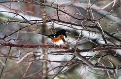 Bird_perched (sonja_ely) Tags: trees red wild brown snow black tree bird wet birds outside woods backyard branch fat branches beak feathers feather sparrow sing perch perched eastern rummage bold feathered towhee feathery reddishbrown easterntowhee wildbird boldblack