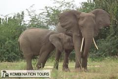 Mother and Juvenile Elephant, Uganda (Kombi Nation Tours) Tags: africa park travel nature tour wildlife roadtrip falls east safari national elephants uganda murchison