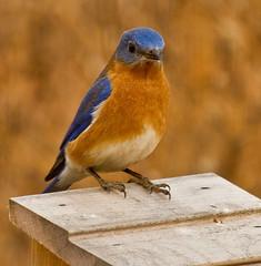 Eastern Bluebird (Lindell Dillon) Tags: oklahoma nature birds explore bluebird easternbluebird hallbrooke oklahomanaturepics lindelldillon bluebirddiary