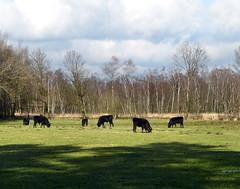 Burlo-Vardingholter Venn - Heck cattle (joeke pieters) Tags: germany landscape deutschland duitsland landschap burlo heckrund heckcattle burlovardingholtervenn panasonicdmcfz150 1130687