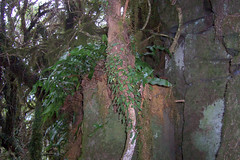 Mount Royal - Rock Felt Fern (Pyrrosia rupestris) (Poytr) Tags: pyrrosia pyrrosiarupestris arfp nswrfp arffern goblinforest mountroyalnsw