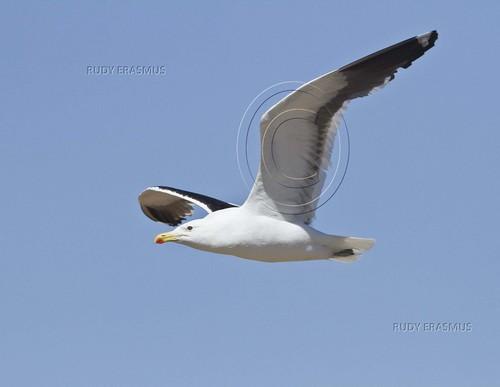 Kelp Gull , BB_0561
