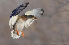 Mallard Hen Cupped Wings Landing Right_ZM44321 (www.sabrewingtours.com) Tags: water female duck brian birding flight marsh fowl waterfowl hen habitat zwiebel snt sabrewing naturetours phototours birdingtours sabrewingnaturetours brianzwiebel