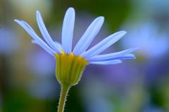 Blue Daisy (love_child_kyoto) Tags: flowers flower macro nature its spring kyoto all loveit  about   botanicalgarden  handinhand    bluefelicia  givemewater  eperke  nikond800 nikonflickraward nikonflickrawardgold itsallaboutflowers d800 feliciaamelloidesvoss infinitexposure bliedaisy  mar82014