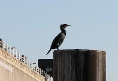 LONDON (yve1964) Tags: black bird thames boats londoneye cormorant riverthames thelondoneye lifeboats