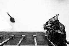 Up-cat and down-cat (KatrinaDB) Tags: blackandwhite cats cat monochromatic x100s