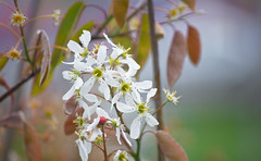 Tanner Spring's Tree Blossoms 2 of 4 (Orbmiser) Tags: flowers white tree oregon portland spring nikon d90 55200vr