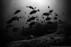 Underwater (Grant Stirton) Tags: ocean sunset sea fish nature animal silhouette sport thailand asia underwater scuba scubadiving coralreef andamansea bigeyetrevally bigeyejack similanislandsnationalmarinepark