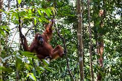 Ratna 4787 (Ursula in Aus) Tags: animal sumatra indonesia unesco orangutan ape greatape bukitlawang ratna gunungleusernationalpark earthasia