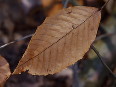 American Beech (Dendroica cerulea) Tags: tree leaves forest newjersey spring woods branch nj fagus somersetcounty fagusgrandifolia baskingridge fagaceae americanbeech lordstirlingpark fagales