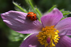 Easter Flower (pasque flower) (trackybottoms) Tags: flower macro garden easter spring ladybird pasque