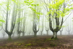 foggy forest (Mimadeo) Tags: morning trees light mist nature wet leaves misty fog mystery forest landscape leaf moss spring haze branch gloomy natural magic foggy creepy spooky foliage fantasy bark trunk mystical nightmare hazy magical twisted beech