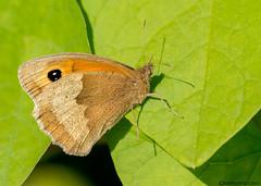 Meadow Brown (Crazybittern1) Tags: meadowbrown sigma70300mmmacro nikond7100