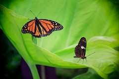 Not Talking to Each Other (dngovoni) Tags: closeup butterfly insect background wildlife monarch brookside dorislongwing