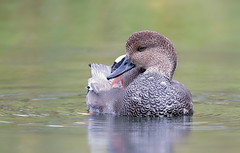 Gadwall drake (mandokid1) Tags: canon canon500f4 1dx birds duck waterfowl