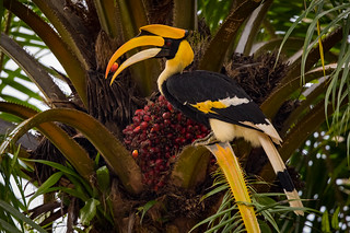 Great Hornbill and Oil Palm | Buceros bicornis | Enggang Papan
