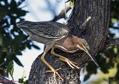 Green Heron (Explored) (rumerbob) Tags: greenheron heron waterbird bird birdwatching birdwatcher wildlife nature naturewatcher canon7dmarkii canon100400mmlens